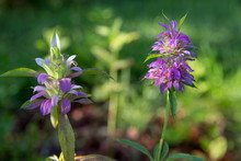 Lemon Beebalm, Also Known As H...