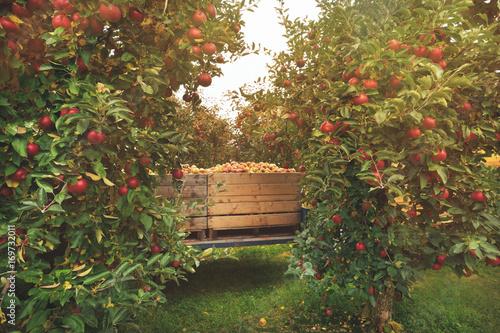 Plakat Organicznie Świezi jabłka w drewnianej skrzynce w jabłczanym sadzie. Spadek zbiorów.