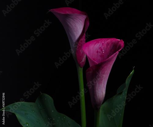 Fotografie, Obraz  Flowers calla on black