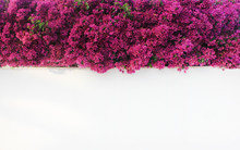 Flowers On White Empty Wall Outdoor Decoration. Creative Background With Bougainvillea Bright Purple Pink Flowers Over Grunge Outside Wall Texture. Garden Decor, Exterior Art Idea For Copy Space.