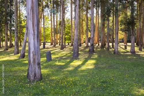Photo sur Toile Cimetiere Forest of eucalyptus