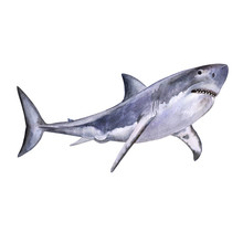 Watercolor Is An Excellent White Shark. White Death Of A Shark Isolated On A White Background. For Design, Prints, Background. Watercolor. Illustration