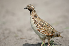 The Common Quail (Coturnix Coturnix) Or European Quail Extra Close Up Portrait. The Identifications Signs Of The Bird And The Structure Of The Feathers Are Clearly Visible..
