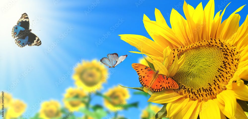 Fototapety, obrazy: sunflower with blue sky and beautiful sun / sunflower