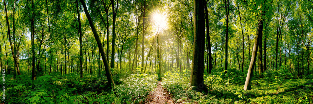 Fototapeta Path in the forest lit by golden sun rays