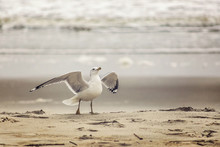 Seagull Spreading Wings On The Beach