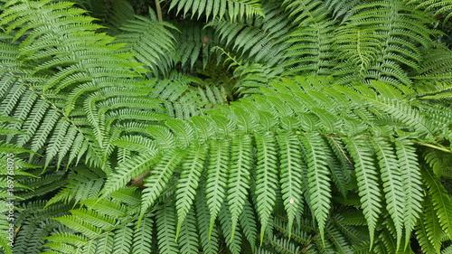 tree fern leaves