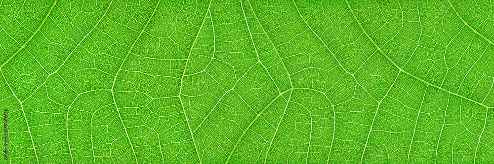 Fototapeta horizontal green leaf texture for pattern and background