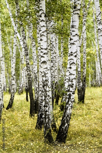 Aluminium Prints Birch Grove birch forest summer landscape