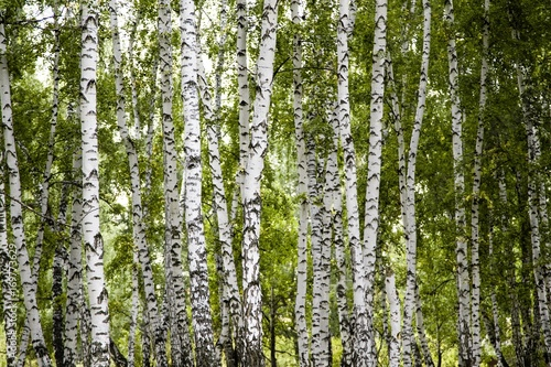birch forest summer landscape