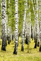 Fototapeta birch forest summer landscape