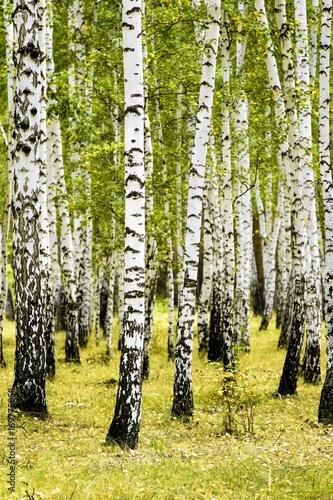 brzozowy las letni krajobraz