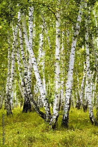 Fototapeta birch forest summer landscape obraz na płótnie