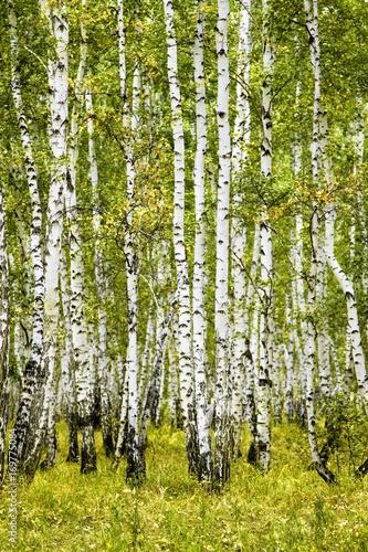 brzozowy-las-lato-krajobraz