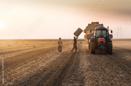 Farmers throw hay bales in a tractor trailer - bales of wheat Fototapeta