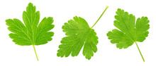 Set Of Gooseberry Leaves Isolated On A White