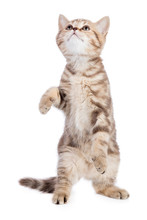 Funny Cat Standing Isolated On...