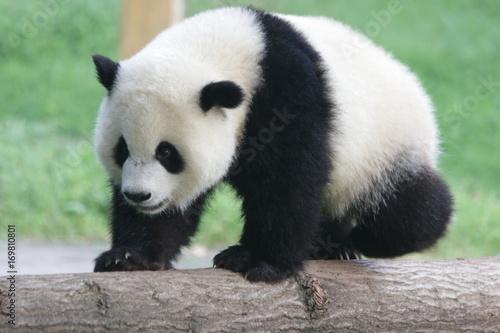 Stickers pour portes Panda Baby Panda on the Play Ground