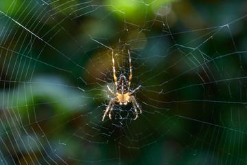Garden spider in web in the sunlight