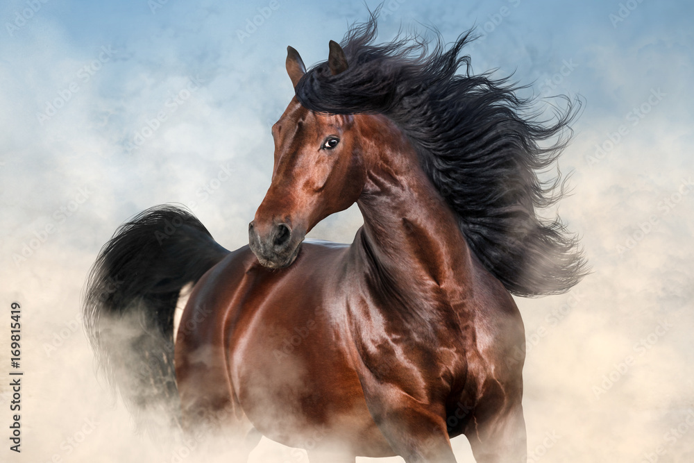 Fototapeta Bay stallion with long mane run fast in desert dust