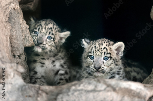 Two cute snow leopard baby portrait