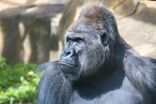 Gorilla Is Sitting And Looking...