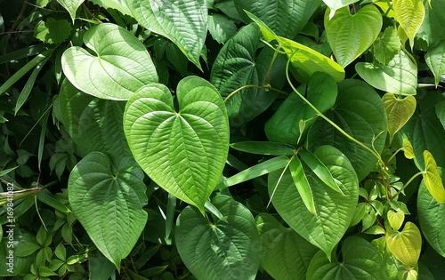 Photo Betel green leaves