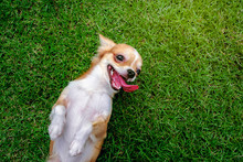 Chihuahua Dog Lying Down Playing On The Lawn Happily