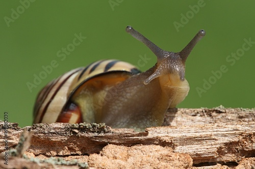Grove or Brown-lipped Snail (Cepaea nemoralis)