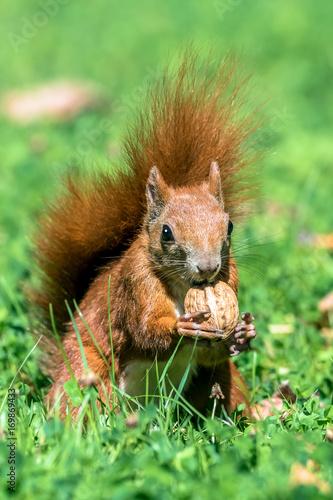 Zdjęcie XXL Wiewiórka z orzecha włoskiego