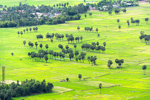 In de dag Lime groen Sugar palms on the rice field view from above is to harvest. Farmers have to combine two plants in agriculture as inter cropping and create forms of art from agriculture.