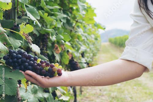 Printed kitchen splashbacks Khaki Vineyard worker checking wine grapes in vineyard