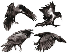 Set Of Watercolor Crows. Set F...