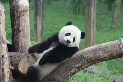 Stickers pour portes Panda Cute Fluffy Panda Cub on the Playground, Chongqing, China