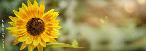 Fotobehang Zonnebloem einzelne Sonnenblume im Sonnenlicht