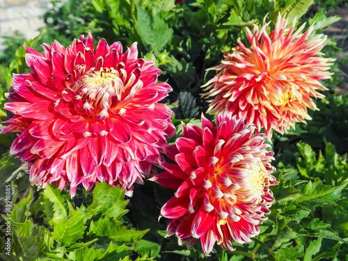 Poster de jardin Dahlia Commercial cultivation of varietal Dahlia for bouquets. Varietal dahlias. Autumn flowers.