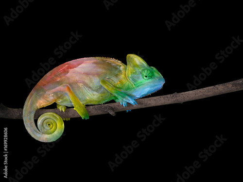 Cadres-photo bureau Cameleon chameleon on a branch with a spiral tail. The colors of the rainbow