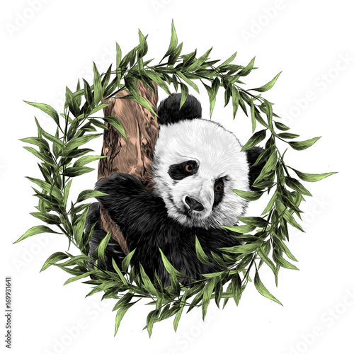 Panda sketch vector graphics hanging on a branch coloured drawing in a frame of leaves
