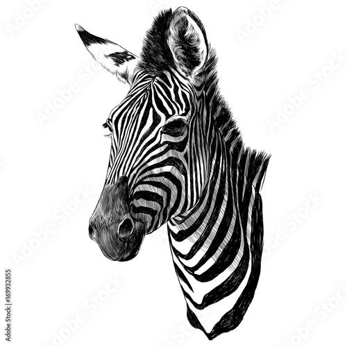 Zebra head sketch vector graphics monochrome drawing - 169932855