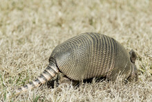 Tail End Of An Armadillo