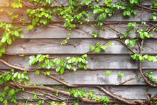 Green Creeper On Wooden Wall