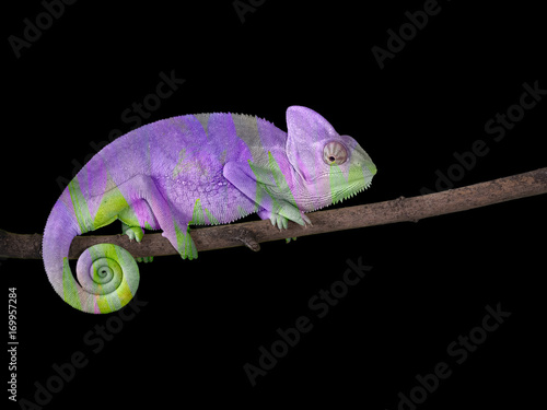 Cadres-photo bureau Cameleon chameleon on a branch with a spiral tail. Purple and green