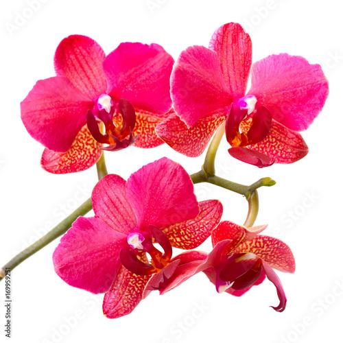 rozowe-kwiaty-storczyka