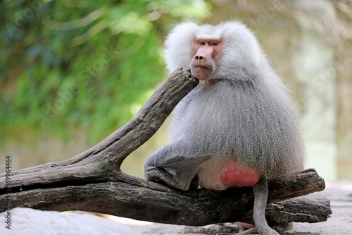 Photo Male baboon