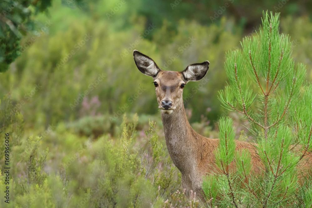 Female deer looking at camera Poster