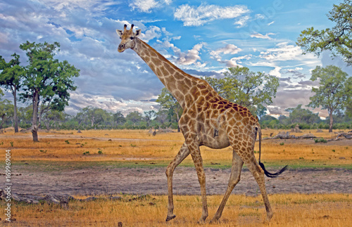 Large Male giraffe walking on the African Plains with a wispy blue sky in Hwange Poster