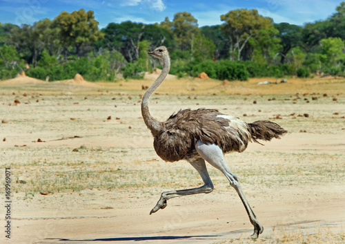 In de dag Struisvogel Ostrich running across the vast open plains in Hwange , Zimbabwe