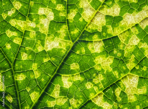 In de dag Macrofotografie natural background from green leaf with yellow squares