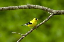 Male American Goldfinch (Cardu...