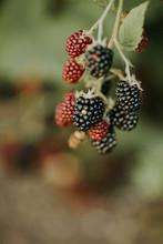 Ripening Blackberries On A Bush